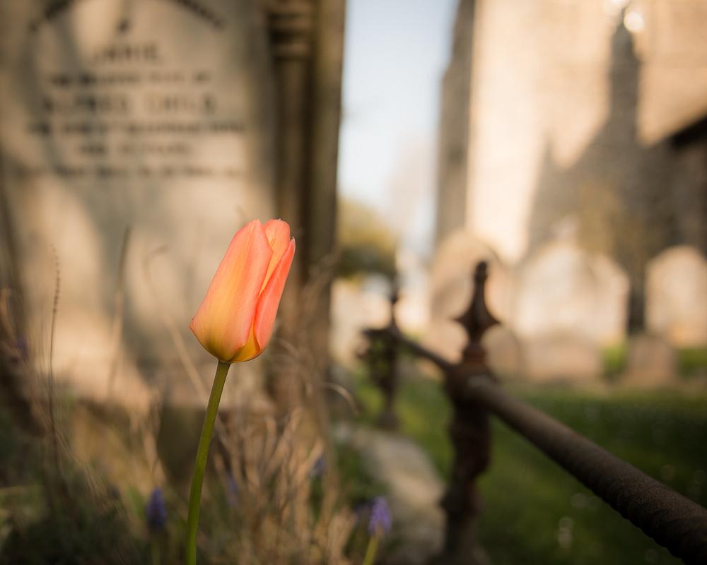 Lone graveside tulip, churchyard of St Nicolas, North Shoreham, Shoreham-by-Sea.  Photo by Jenny Rutterford Photography.