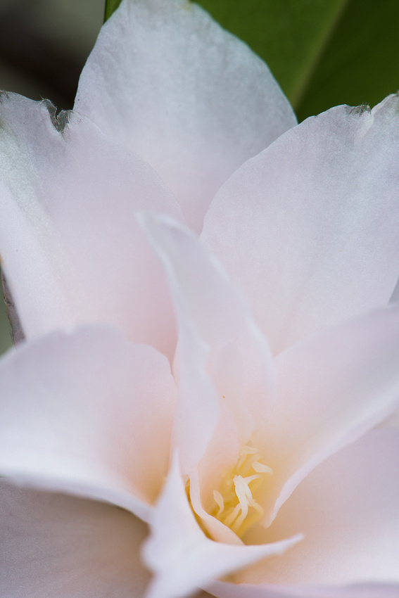 Pale pink azalea, Photographer