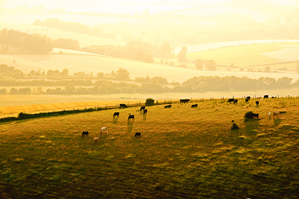 Cattle grazing in sun drenched fields on the South Downs, near Shoreham-by-Sea.  Image by Jenny Rutterford Photography