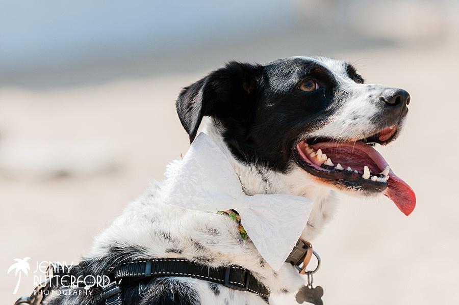 Dog with bowtie at Lusty Glaze Beach Wedding