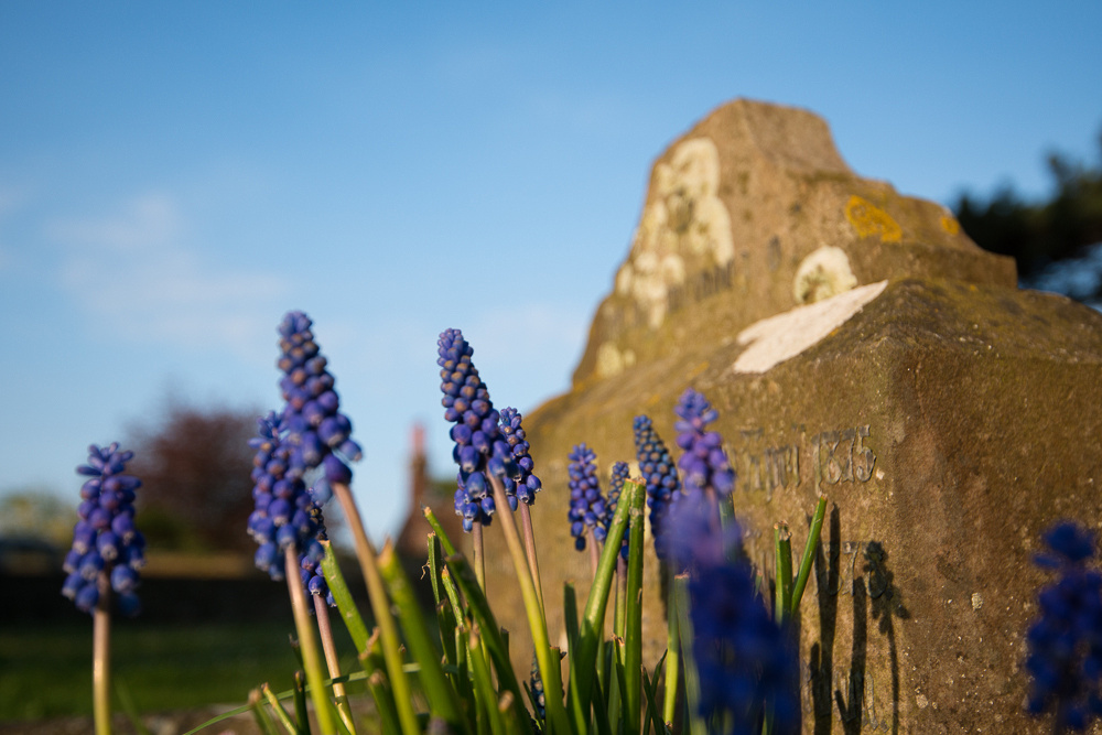 Ancient headstone framed by Grape Hyacinths, St Nicolas Church, Shoreham-by-Sea.  Photo by Jenny Rutterford Photography.